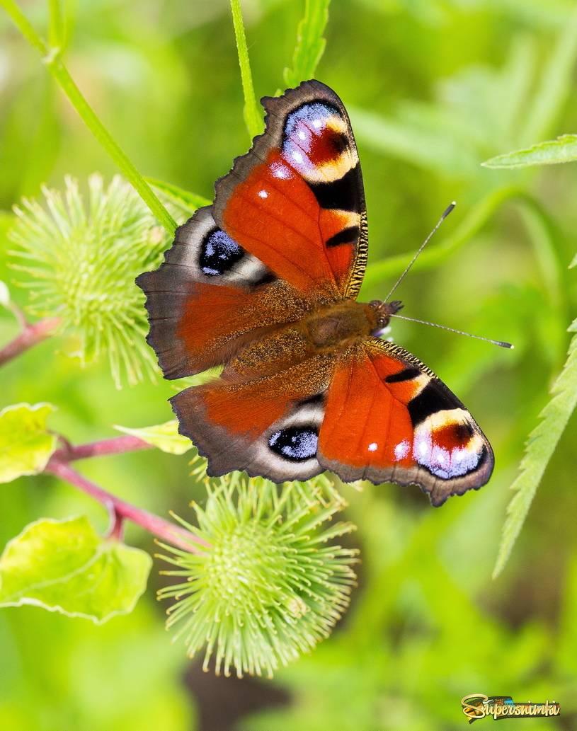 Бабочка павлиний глаз: описание внешнего вида и продолжительность жизни чешуекрылого
