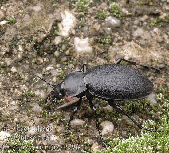 Жужелица кавказская из красной книги, фото и описание жука, в какой природной зоне обитает, как выглядит