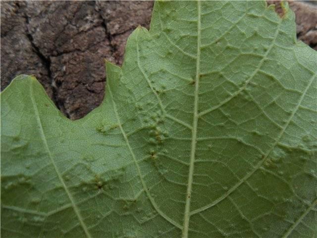 Эффективные методы борьбы с виноградным зуднем (клещом)