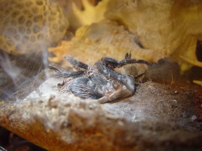 Линька у пауков - зоо журнал