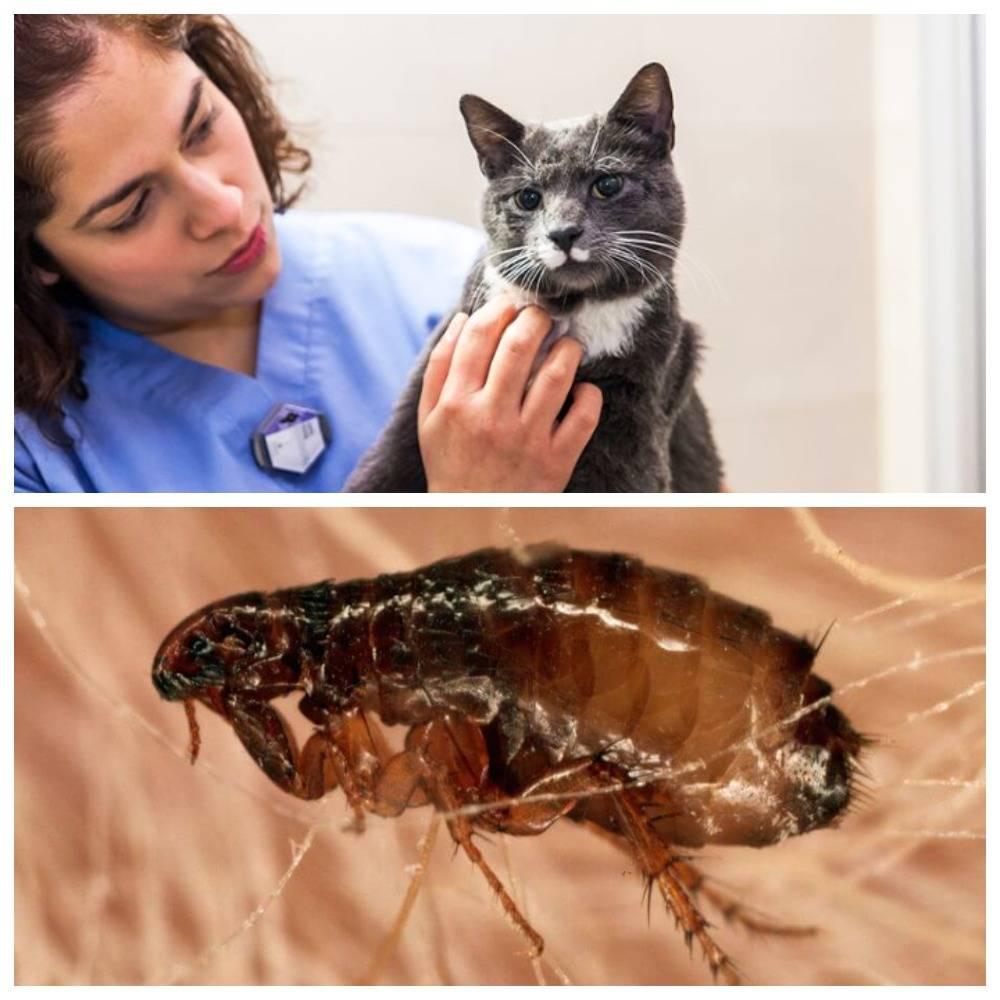 Как избавить кошку и котят от блох