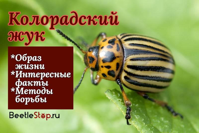 Чем примечателен колорадский жук, что он ест и как размножается?