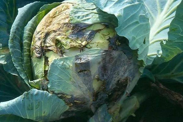 Какие бывают вредители капусты | cельхозпортал