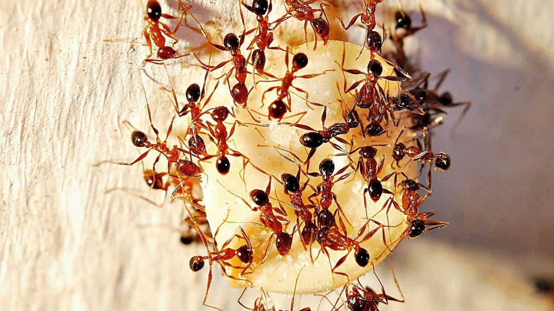 Фараоновы муравьи – фото и описание