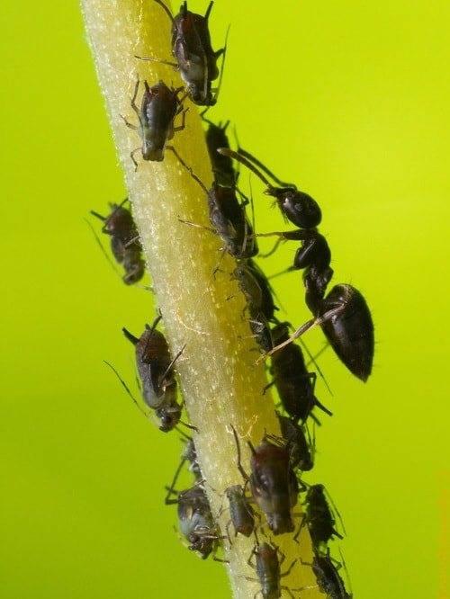 Муравьи и тля - описание взаимоотношений симбиоза