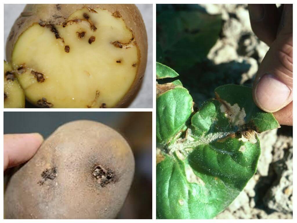 Картофельная моль: как с ней бороться, как хранить, фото