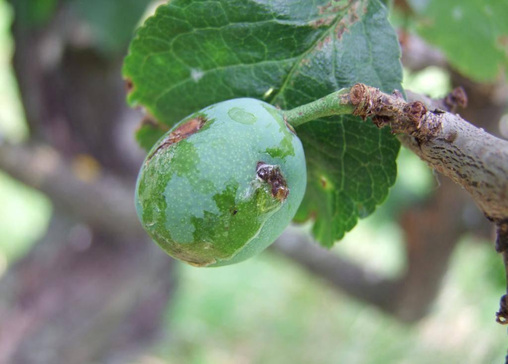 Болезни и вредители вишни и сливы: фото и способы борьбы
