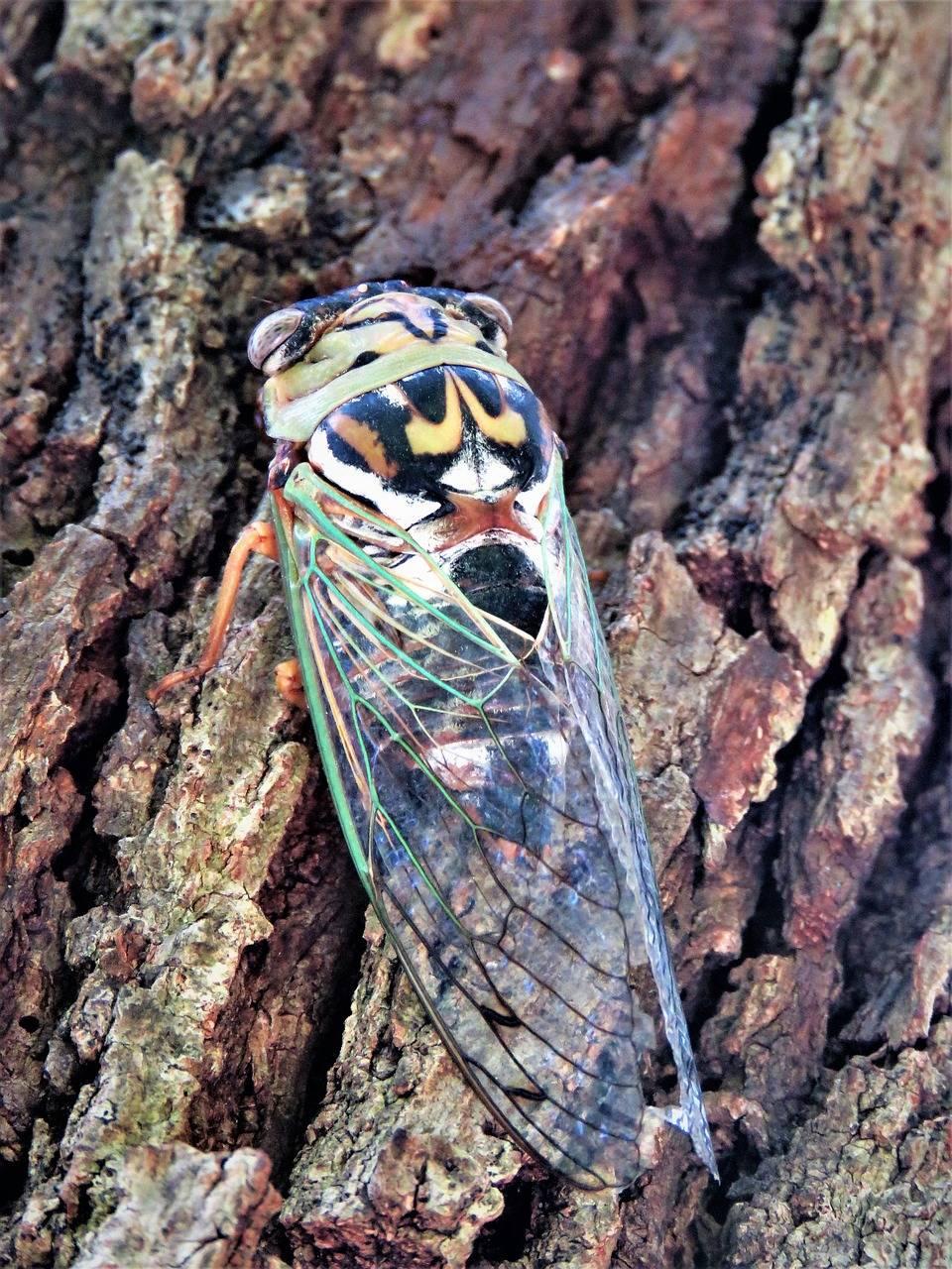 Насекомое цикада: где обитает, чем питаются цикады?