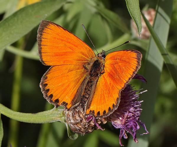 Бабочка — описание, виды, классификация, жизненный цикл чешуекрылых. фото и видео ярких представителей вида.