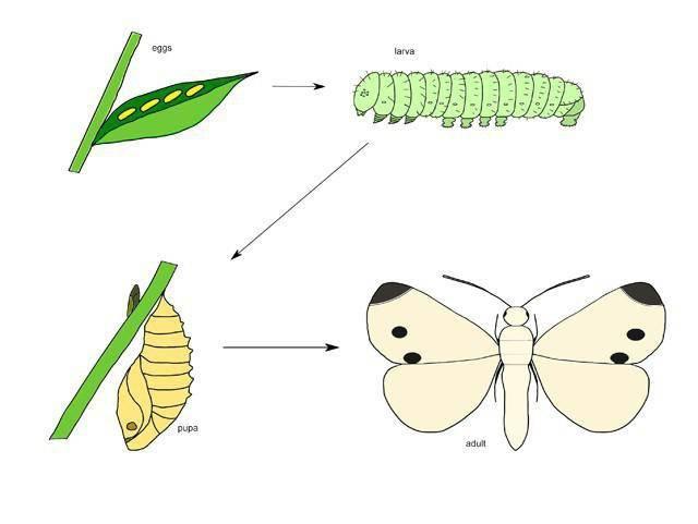 Гусеница - это личинка бабочки: разновидности, жизненный цикл, питание