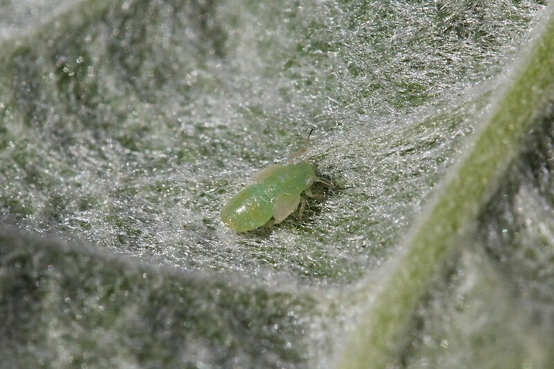 Тля насекомое. образ жизни и среда обитания тли | живность.ру