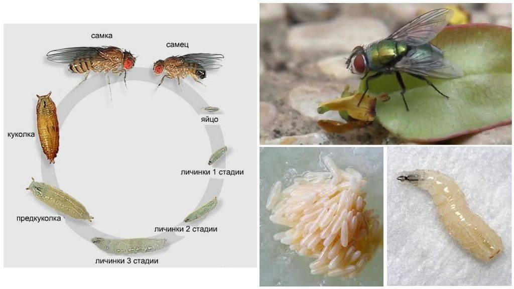 Жизненный цикл мух, размножение, личинки и прочее... / как избавится от насекомых в квартире