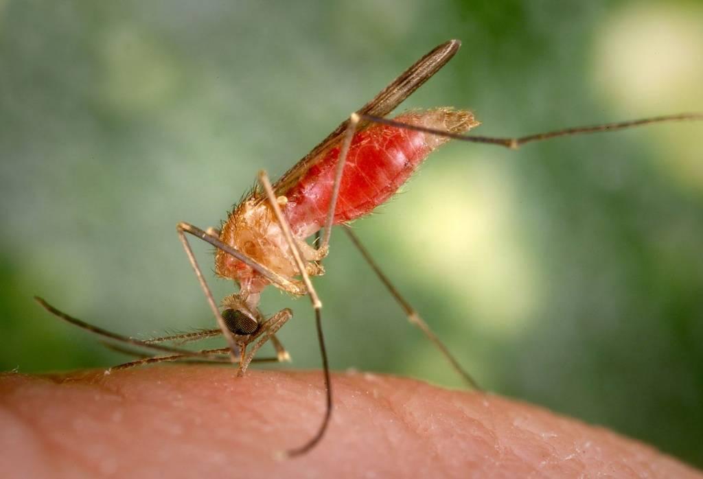 Малярийные комары: как выглядит, как избавится, что будет если укусит