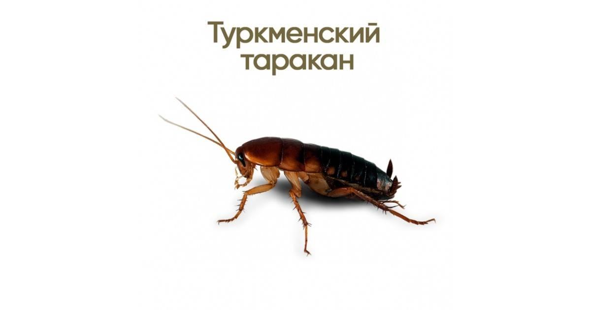 Туркменский таракан, особенности содержания, разведения, питания