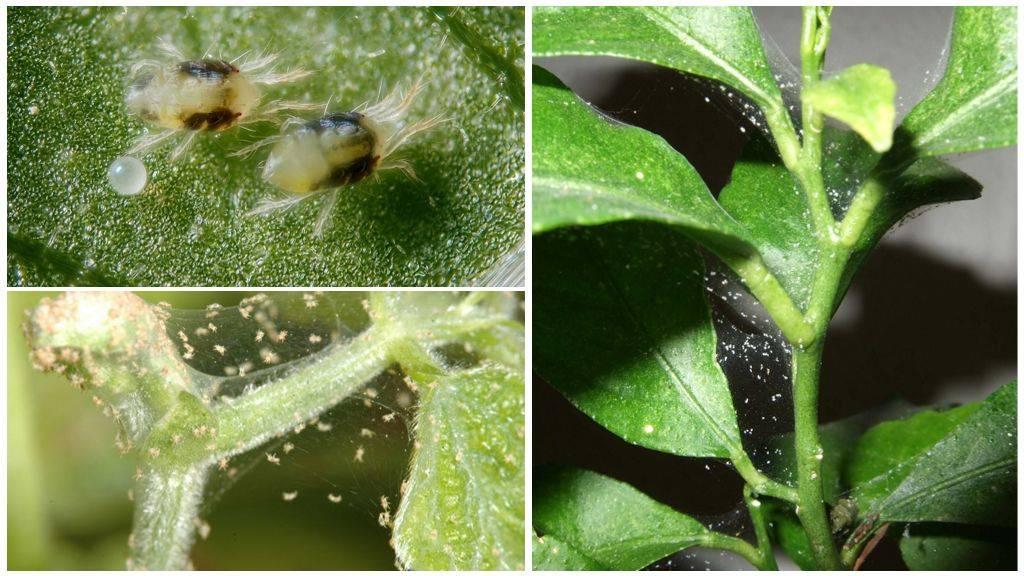 Как избавиться от паутинного клеща на комнатных растениях химическими и народными средствами