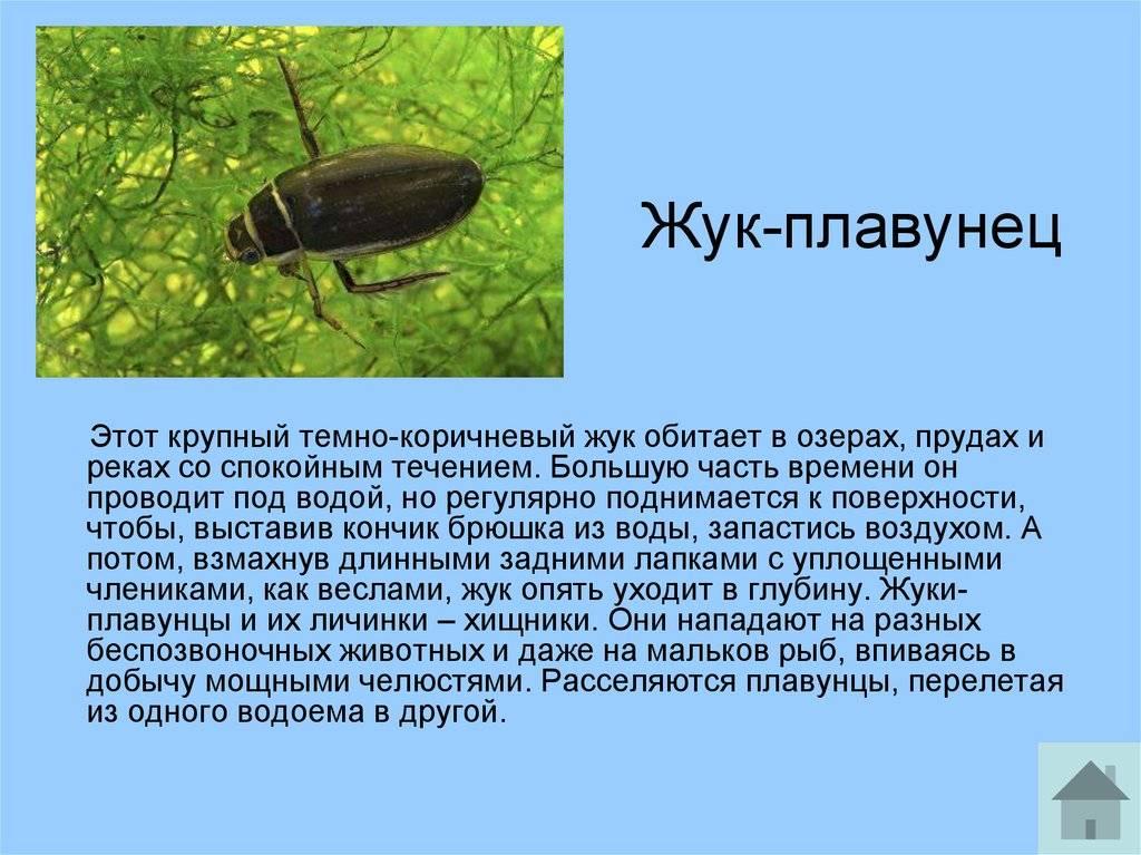 Жук плавунец — интересные факты о насекомом | vivareit