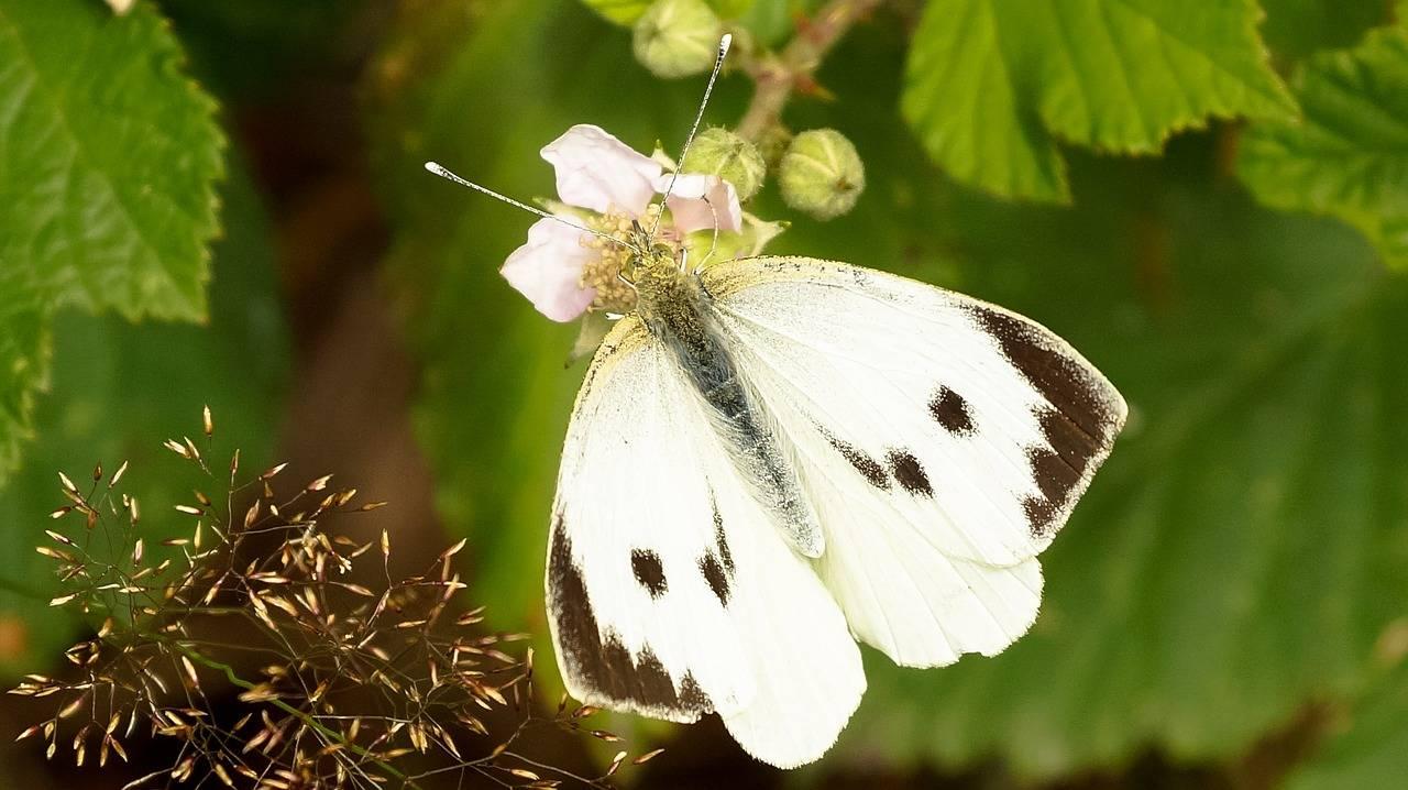 Бабочка капустница или капустная белянка - описание