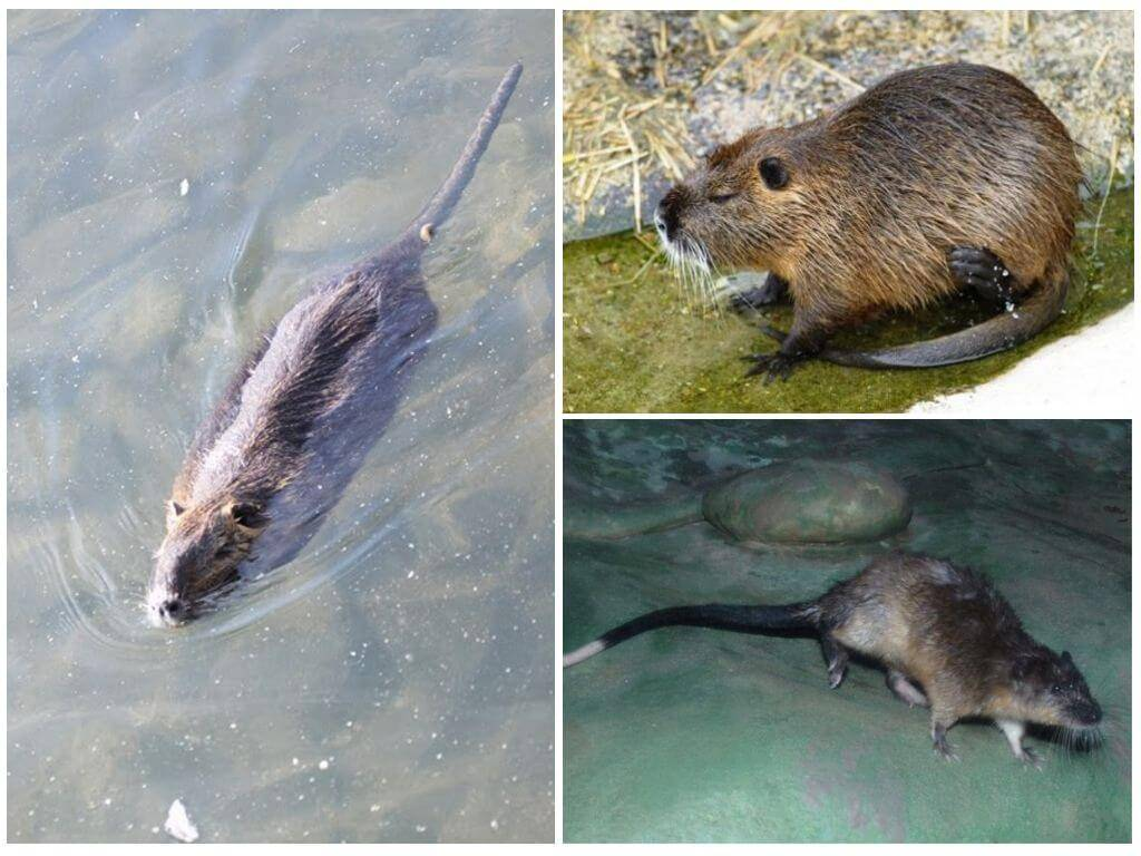 Крыса - 87 фото отличий от мышей, места обитания и питание