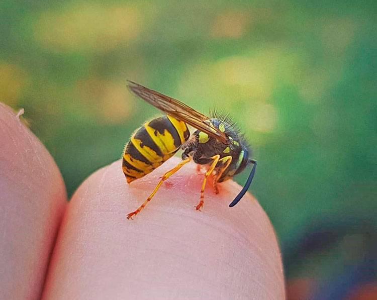 Укус осы: первая помощь, что делать в домашних условиях