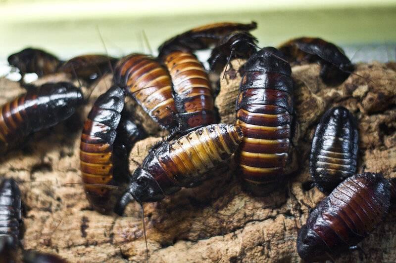 Мадагаскарские шипящие тараканы: содержание в домашних условиях, что едят, цена