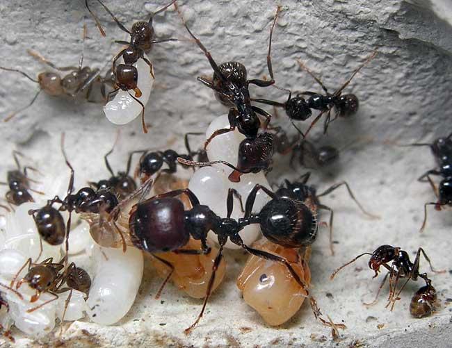 Польза и вред муравьев, способы борьбы с этими насекомыми в саду