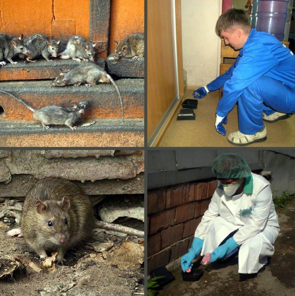 Дератизация в спб для граждан и юридических лиц. уничтожение грызунов: крыс, мышей, кротов