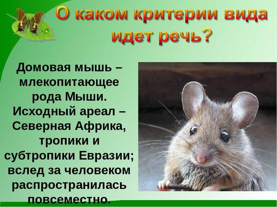Домовая мышь, особенности поведения , условия кормления и содержания 2021