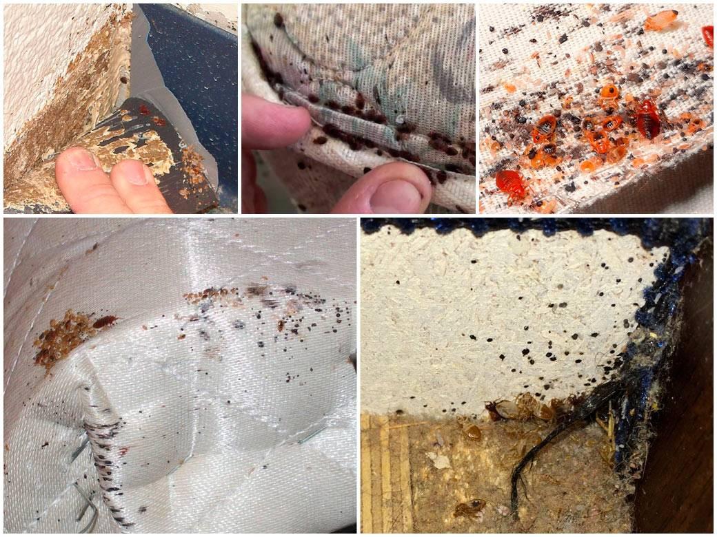 ❶ личинки домашних постельных клопов: как они выглядят и как с ними бороться