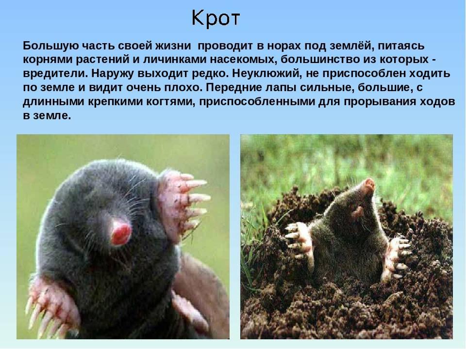 Крот – фото и описание животного