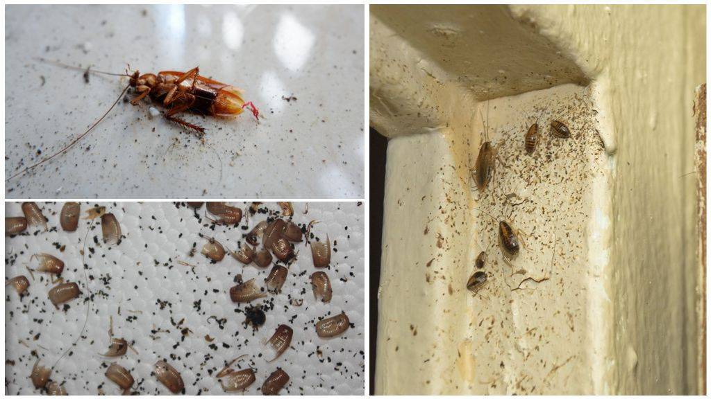 Куда делись тараканы: почему исчезли из квартир и больших городов, описание причин