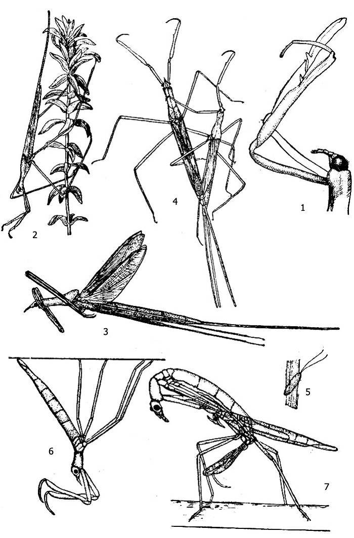 Палочник водяной: размножение, рацион питания и ареал обитания