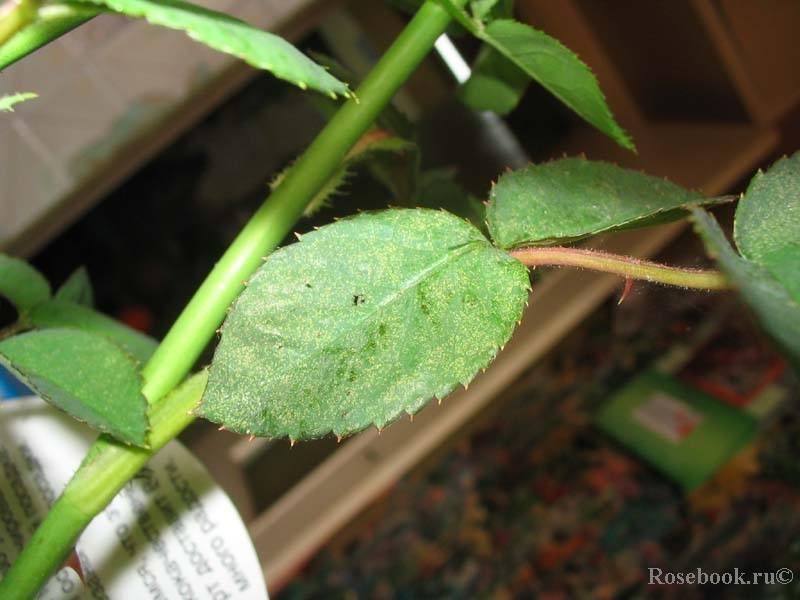 Паутинный клещ на комнатных розах: что делать, если на растениях появилась паутина, и как бороться с паразитом в домашних условиях, чтобы избавиться от него?дача эксперт