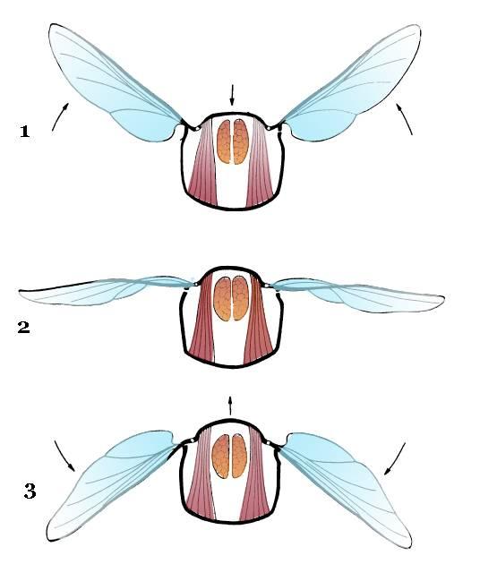 Какая скорость полета мухи — ответы ученых. какое расстояние может пролететь муха без остановки?