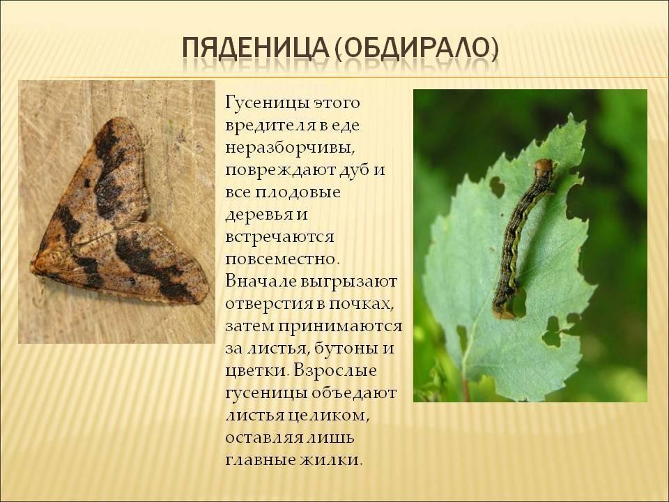 Пяденица-обдирало – вредитель дубовых рощ и садов