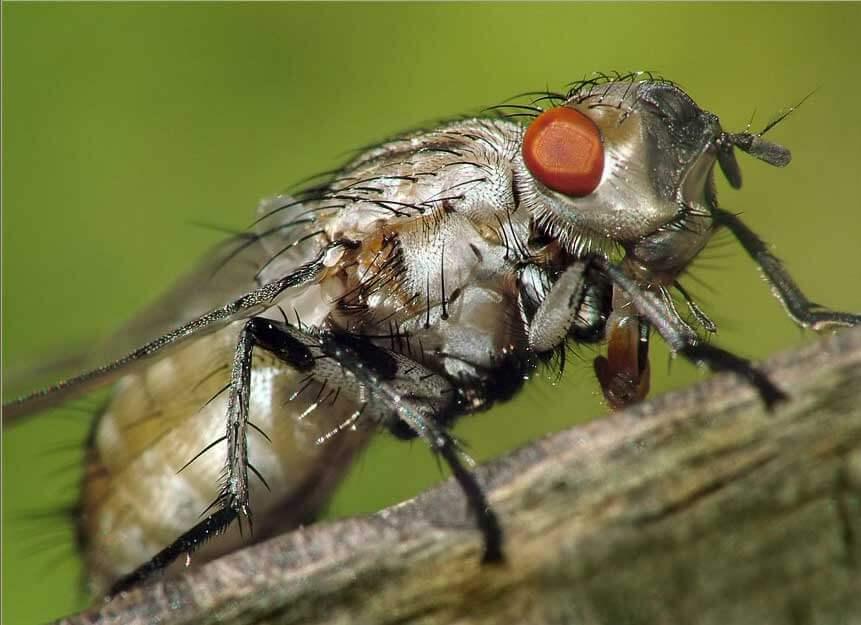 Капустная муха – все методы борьбы с вредителем + фото и видео