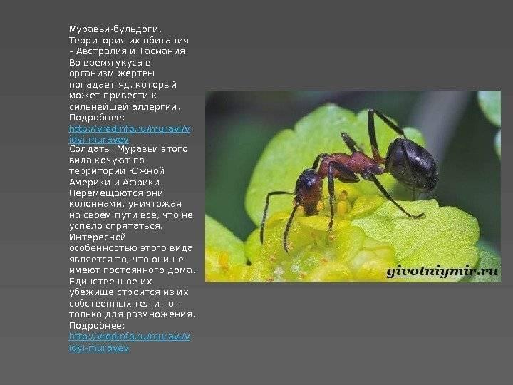 Муравей это насекомое или нет – рассмотрим подробнее из чего он состоит и как живет