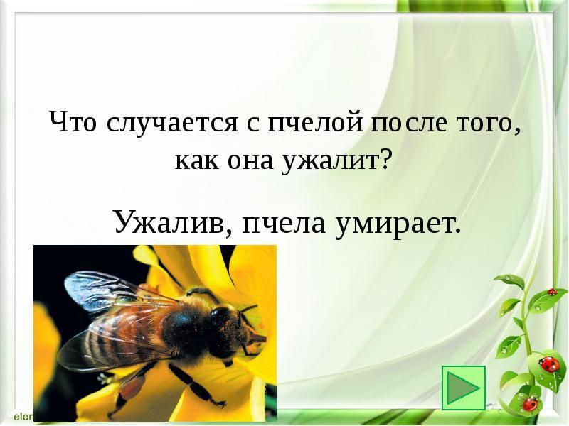 Почему пчела умирает после укуса