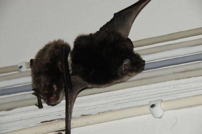 Как избавиться от летучих мышей: что делать, если к вам залетела летучая мышь