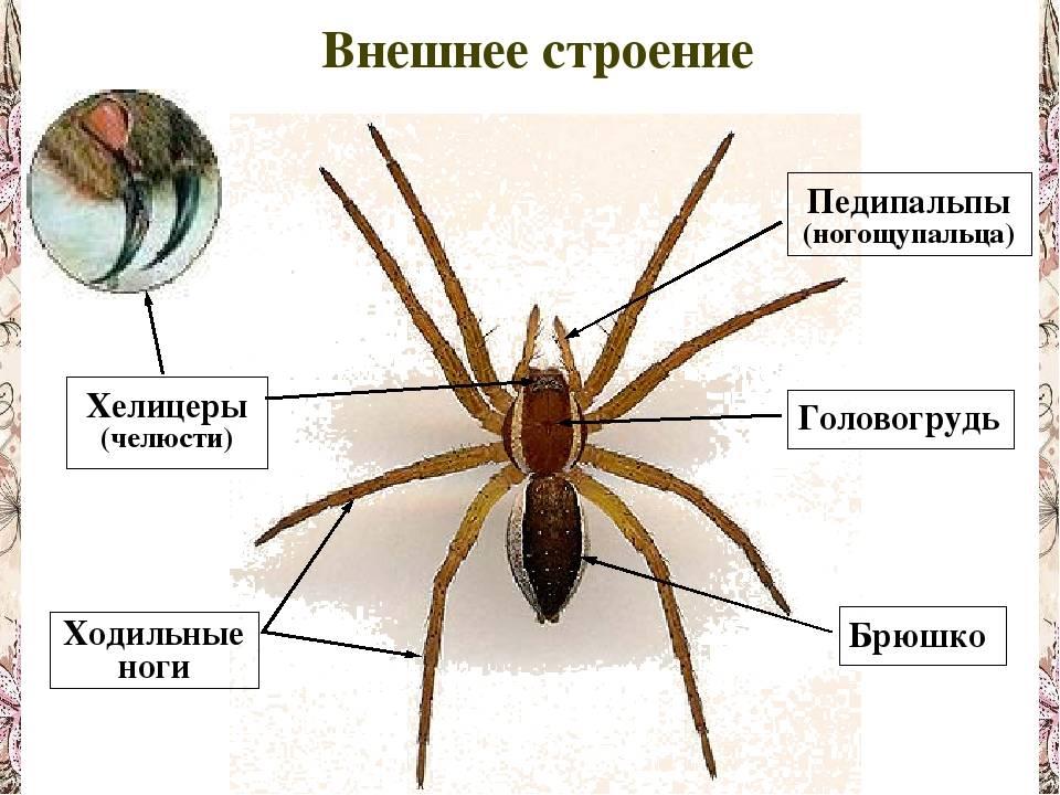 Паук-фаланга: описание внешнего вида и опасность для человека