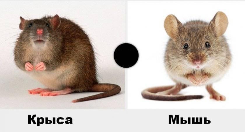 Мыши и крысы — чем они отличаются, внешние признаки, основные сходства