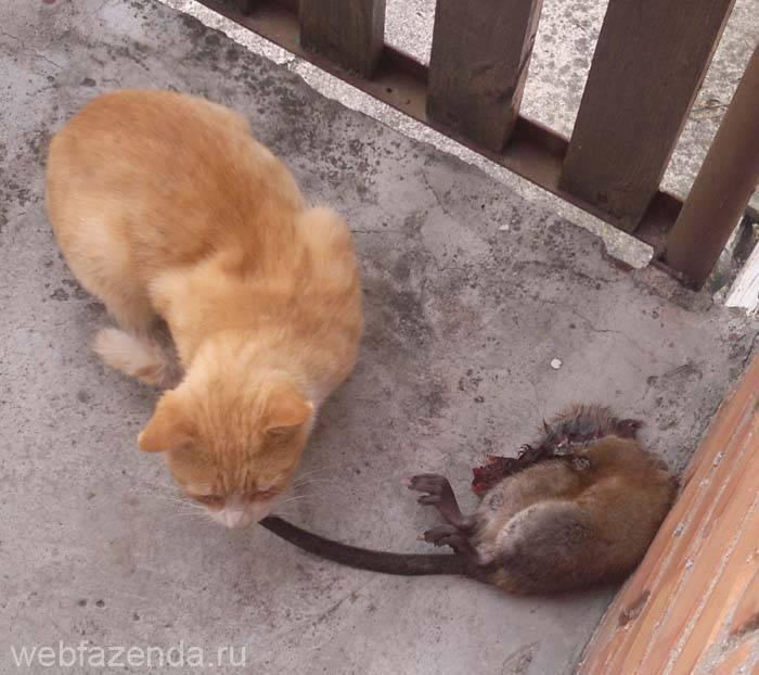 Собака-крысолов (25 фото): какие породы собак могут ловить больших крыс и мышей? обзор лучших пород. особенности немецкой, русской и других собак-крысоловов