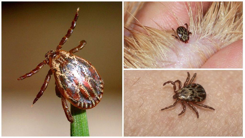 Иксодовые клещи – 10 фото, описание, жизненный цикл, среда обитания, какие болезни передают. первая помощь при укусах