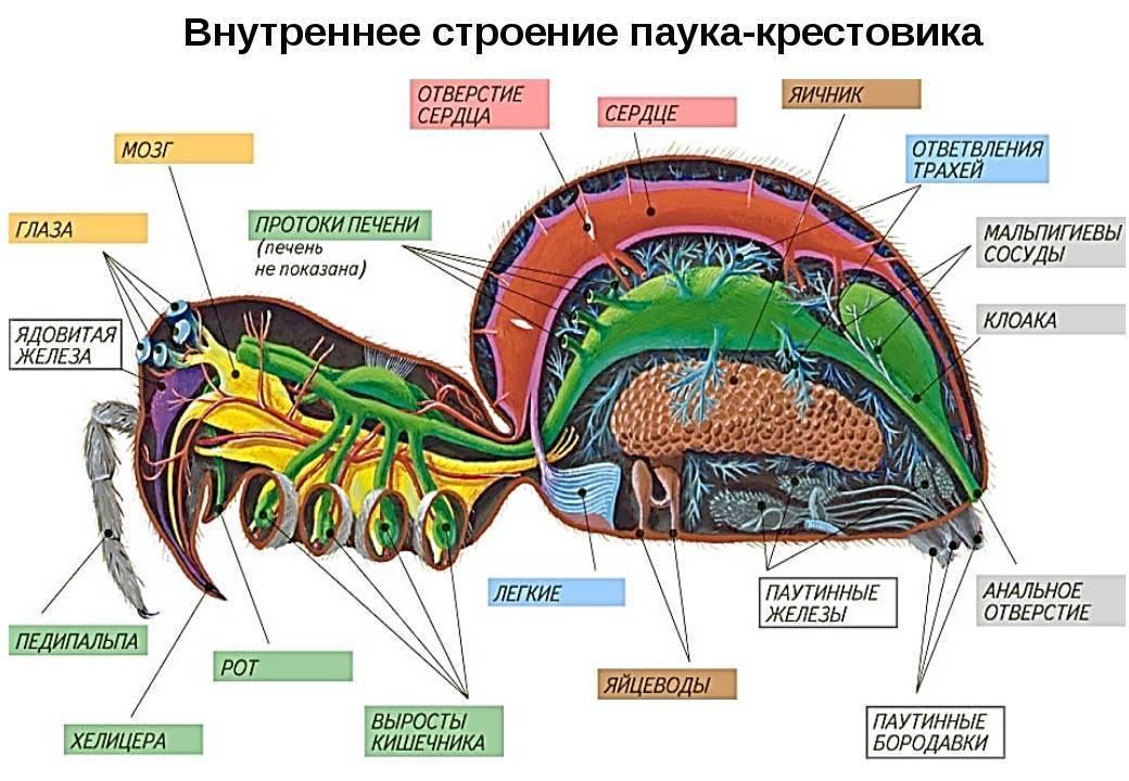 Опорно-двигательная система человека: скелет и мышцы, строение и состав костей, анатомия | tvercult.ru