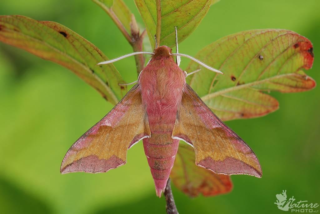Бабочка бражник (бабочка колибри) - фото и виды, описание, названия, чем питается и где обитает