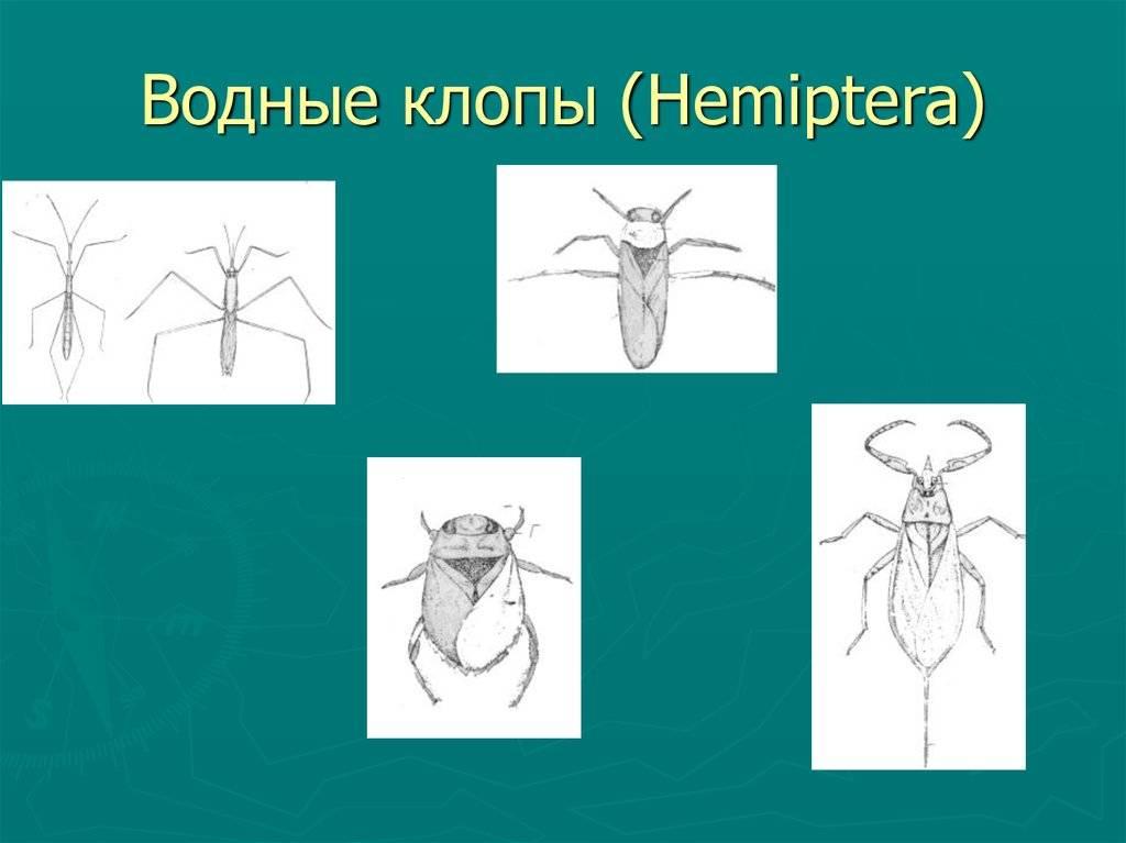 Вся правда о водяных клопах: как выглядят и опасны ли для человека | comp-plus.ru