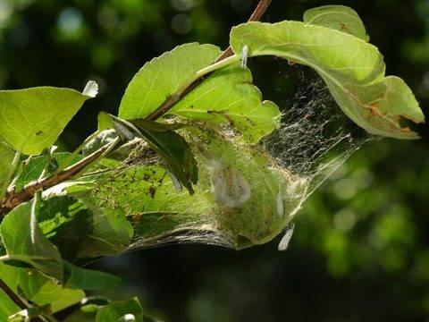 Яблонная горностаевая моль (лат. hyponomeuta malinellus)