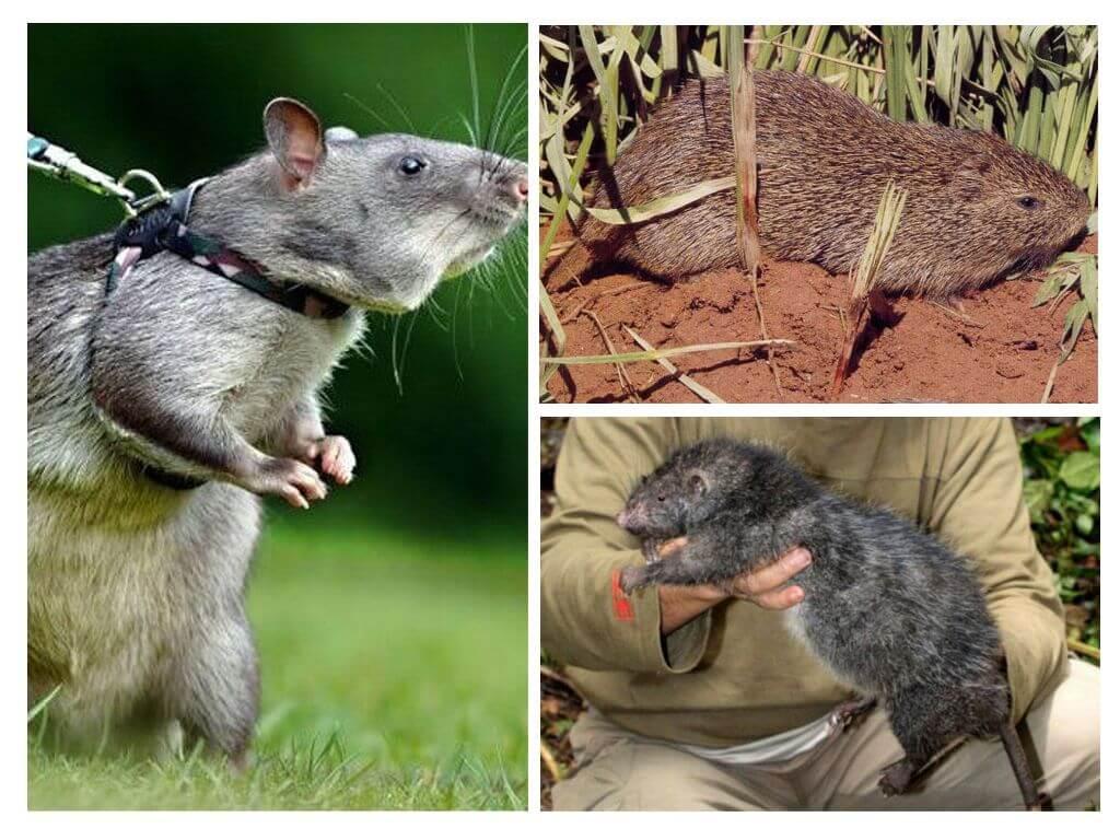 Самые крупные крысы на планете: породы, поведение и уникальные факты о грызунах