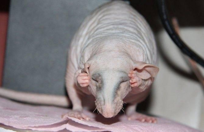 Крик крысы предупреждающей об опасности слушать