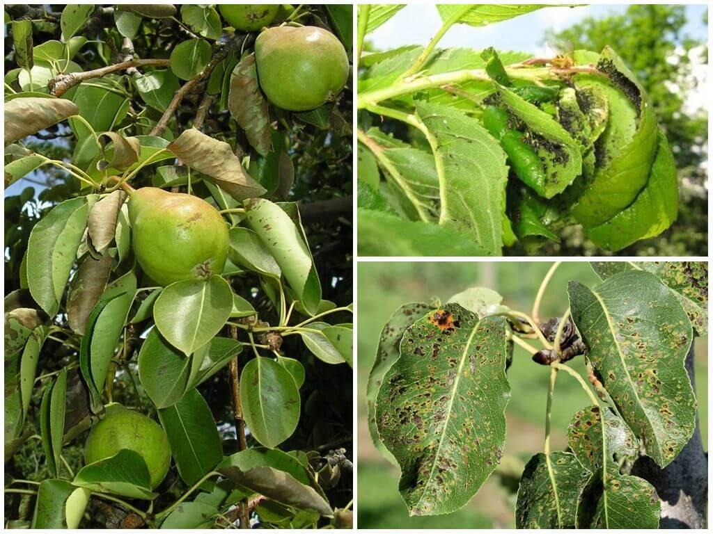 Как и чем обрабатывать грушу весной от вредителей и болезней, советы бывалых садоводов