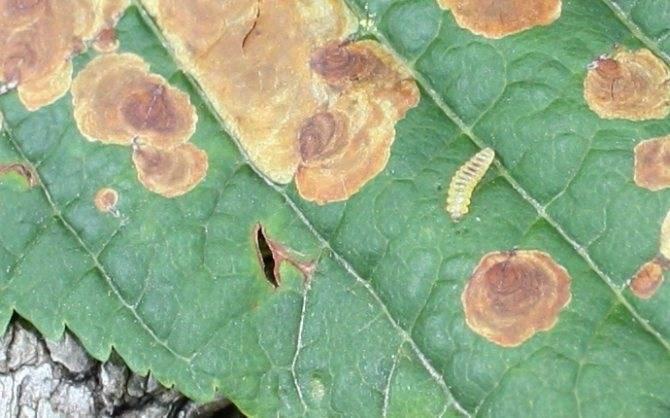 Пасленовый минер: меры борьбы на томате на огурцах, особенности вредителя